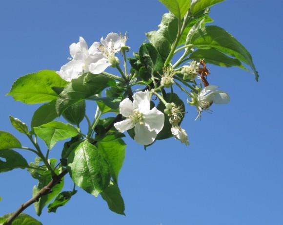 professioneller Obstbaumschnitt für eine volle Blüte